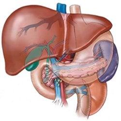 Развитието на черния дроб